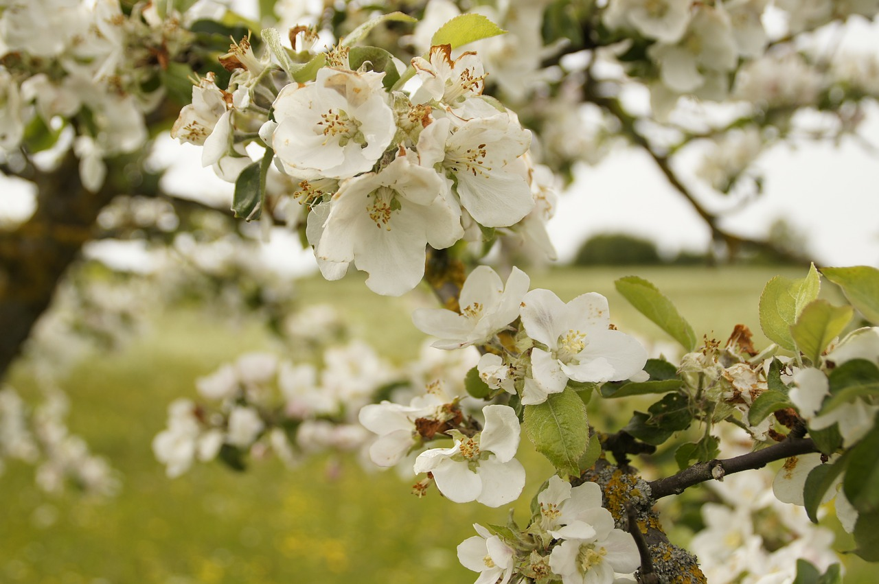 apple-tree-blossom-249450_1280